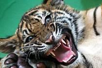 Pětiměsíční kotě tygra sumaterského.