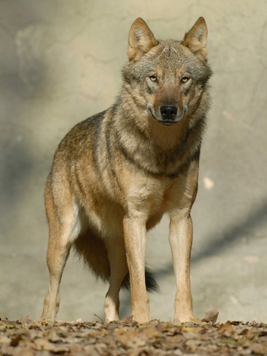 Vlk obecný.