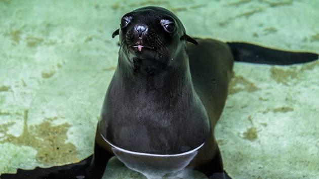Návštěvníci Zoo Praha budou moci v sobotu prvně vidět v expozici lachtanů novou samičku Daisy.