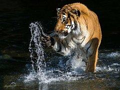 Samec tygra malajského Johann vZoo Praha.
