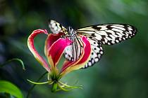 V Botanické zahradě ve středu 9. června začíná výstava Motýli: Jedovatá sezona.