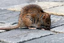 NEJČASTĚJŠÍ PRAŽAN. Dlouhodobý poměr obyvatel hlavního města je jeden člověk na pět potkanů./Ilustrační foto
