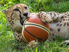 """Každá zgepardích samiček si postupně """"ulovila"""" ten svůj míč."""