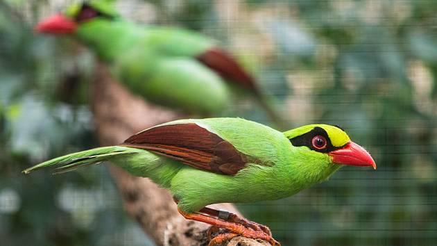 Krasky krátkoocasé jávské jsou krásní, přes 30 cm velcí ptáci s nápadným mohutným zobákem.