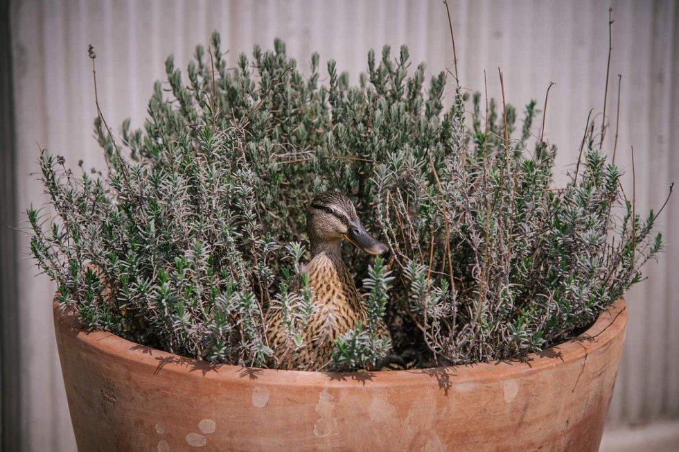 Kachna si vybrala k hnízdění květináč před obchodem.