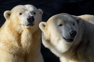 Mezinárodní den ledních medvědů v pražské zoo
