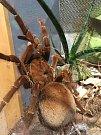 Milovníci živých sklípkanů si přijdou v Zoo Praha na své. Je zde výstava 60 druhů těchto pavouků. V teráriu zde najdou i druh Theraposa blondi.
