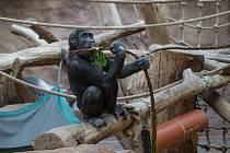 Pomlázky z čerstvého proutí gorily labužnicky obíraly, pochutnával si i sameček Nuru.