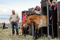 V ROCE 2011 se uskutečnil historicky první český transport koní Převalského do Mongolska.