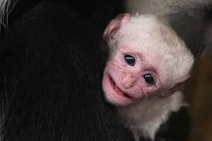 Zoo Praha se raduje z dalšího mláděte guerézy pláštíkové.
