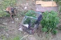 Policejní pes Bond vyčmuchal pěstírnu konopí.