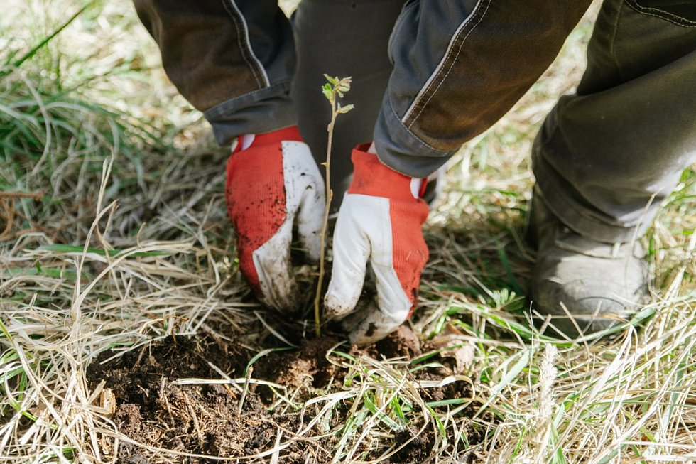 Výsadba stromků.