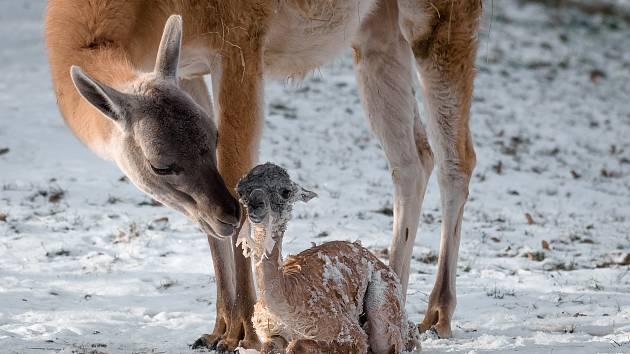 Novorozené mládě lamy guanako smatkou ve výběhu.