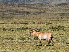 Klisna Zeta oslavila na jaře v Mongolsku již 23. narozeniny a je poslední pamětnicí prvních transportů koní Převalského.