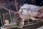 Zraněnou poštolku pomohl pracovníkům  Záchranné stanice hl. m. Prahy pro volně žijící živočichy odchytit křeček v kleci.
