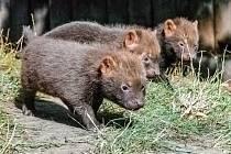 Smečka psů pralesních v pražské zoologické zahradě momentálně čítá devět jedinců, letošní mláďata se narodila na začátku srpna.