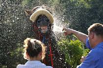 OSVĚŽENÍ PRO ŠAMPIONA. Vítězný Tullamore přijímá péči v horkém nedělním odpoledni.