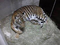 Dvě nově narozená malajská tygřata.