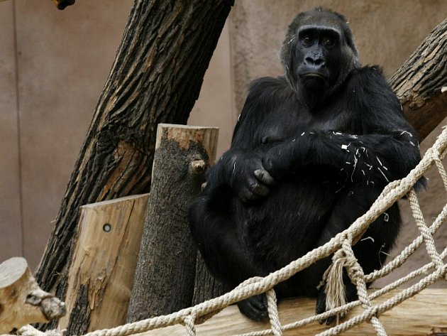 Gorila Kamba