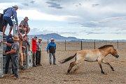 Pražská zoo zaznamenala osmý úspěšný převoz koňů Převalského do Mongolska.