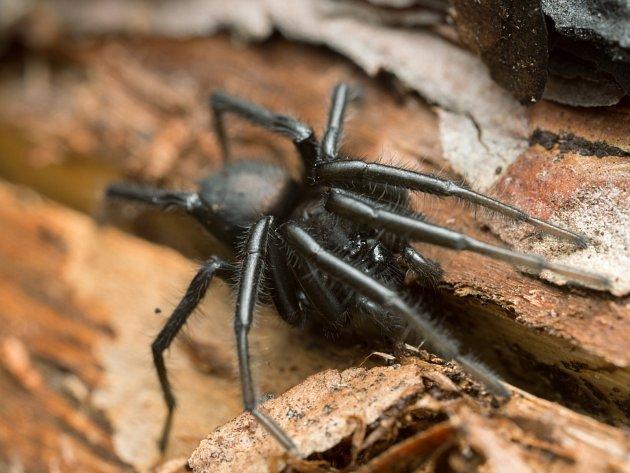 Pavouk z rodu skálovkovití. Ilustrační foto.