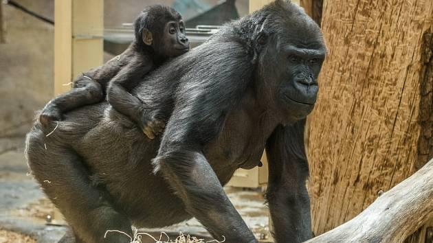 Sameček Ajabu sledoval větší část oslavy svých prvních narozenin z bezpečí zad matky Shindy.