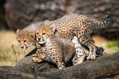 V pátek 28. září, u příležitosti 87. výročí otevření Zoo Praha, budou slavnostně pokřtěna mláďata gepardů, a to za účasti špičkového atleta Jakuba Holuši.