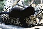Koťata levharta mandžuského se v pražské zoologické zahradě podařilo odchovat po 13 letech. Denně každé mládě spořádá víc než půl kilogramu masa.