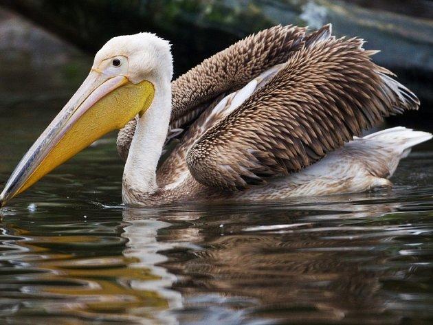 Zoo Praha věnuje tři pelikány britské královně