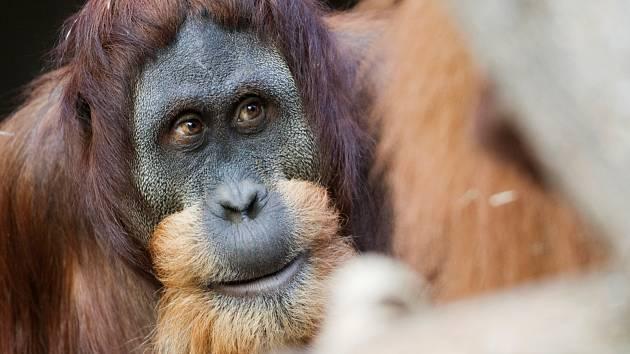 V Zoo se narodilo mládě orangutana