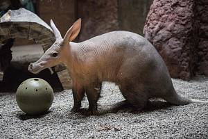 Samec hrabáče kapského Draco dostane jako překvapení k desátým narozeninám speciální dárek. Na snímku s vánočním míčem.