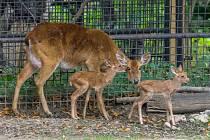 Narození dvojčat jelena lyrorohého je výjimečnou událostí.