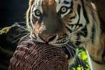 Samec tygra ussurijského Rádža s proutěnou koulí.