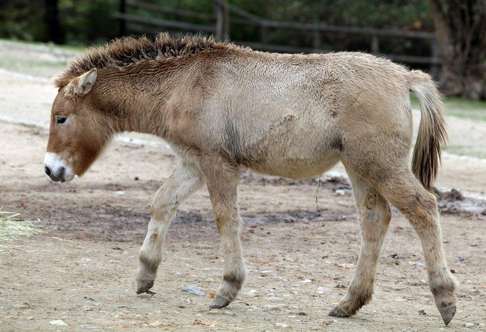 Zoo Praha - kůň Převalského