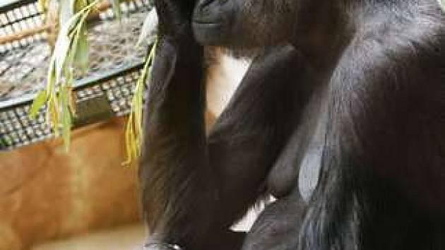Gorila Kijivu drží v náručí několik týdnů staré mládě, které se jí narodilo v noci na 30. května v pražské zoo.