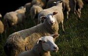 Ovce spásají zeleň na Praze.