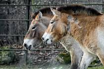 Klisny koně Převalského Helmi a Hanna jsou v širším výběru pro transport do Mongolska.