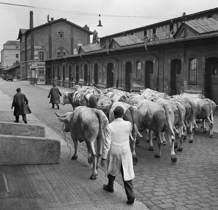 Holešovice Chicago. Pražská tržnice původně vznikla jako jatka. Inspiraci našla v proslulých jatkách v Chicagu. Na fotce zásilka jatečních volů z Rumunka, červen 1949.