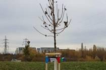 V loňském roce vysadila Praha 11 přes 190 stromů, chrání je speciální nátěr.