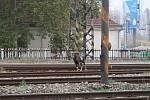 Po Praze 5 pobíhal muflon.