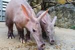 Sameček hrabáče kapského Kito s mámou Kvídou si ve venkovní expozici v pražské zoologické zahradě nejprve pochutnali na oblíbené dobrotě.