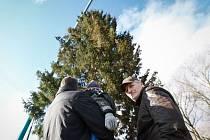 Vánoční strom pro Staroměstské náměstí v Praze byl pokácen v České Lípě 22. listopadu. Šedesát osm let starý smrk pokácel Jiří Vorlíček