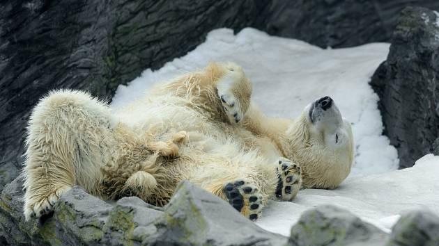 Vítaným zpestřením a možností uplatnit vynikající čich je pro mnohá zvířata pachový enrichment. Vexpozici ledních medvědů byla pachová stopa vytvořena pomocí drcených lístků bazalky. Zvířata nasávala její vůni a povalovala se tam.