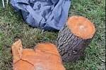 Čerstvě pokácené dřeviny.
