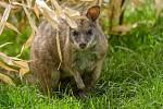 Malý, jen 50 cm velký, lesní klokan parma byl jako druh několikrát na pokraji vyhubení. Populace naštěstí zůstala zachovaná, ale pořád o ní mnoho nevíme.