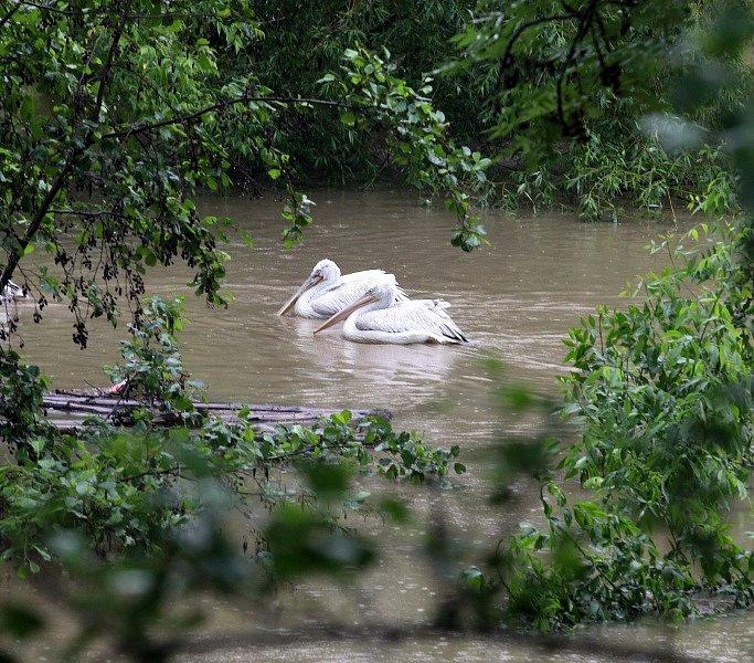 Povodně v Praze v pondělí 3.června. Pražská zoo.