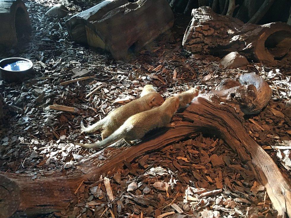 V zoologické zahradě v Praze můžete vidět i mládě mangusty trpasličí