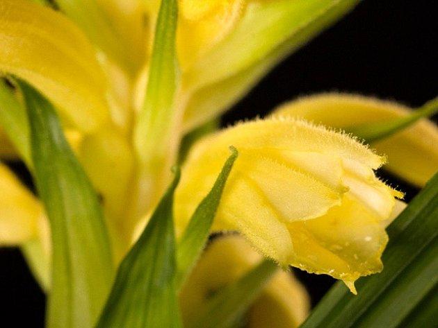 V botanické zahradě v pražské Troji vykvetla unikátní orchidej (na snímku z 8. května). Jinde v Evropě se tuto vzácnost nedaří po převozu z jihovýchodní Asie pěstovat, v Praze rostou už tři roky.