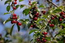 Třešně na Petříně. Ilustrační foto.