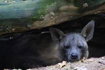 Hyena čabraková.